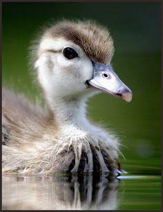 baby wood duck, duckling