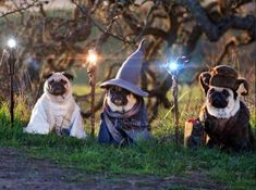 i hope these wizard pugs make your day better