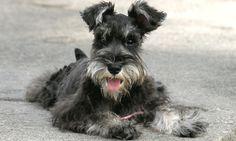 Canine Diabetes Mellitus   Clinician's Brief