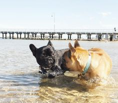 I read that they can't swim, so if watch mine carefully if I had a Frenchie. French Bulldogs at the Beach.