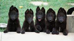 the BELGIAN SHEEPDOG BRIGHT, WATCHFUL, SERIOUS-MINDED