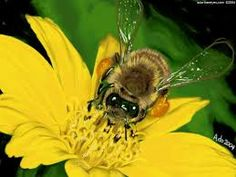 Apis Mellifica - honey bee - indications: #bites and #stings such as bee stings with redness, heat and swelling.  Also good for hives, nettle rash, allergic eruptions and even for sore throats and cystitis with classic stinging pains and sensation of swelling.