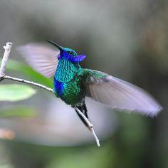 hummingbird video pinterest | Violet-Ear Hummingbird