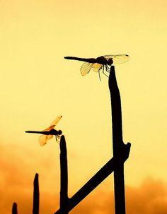 Dragonfly synchronized perching