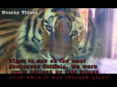 Tiger tries to attack and eat tourists in zoo (+seznam videí) Dangerous Animals, Wild Animals, Eat, Youtube, Youtubers, Wild Ones, Youtube Movies