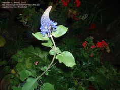 Photo of blue soldier salvia (pycnostachys)