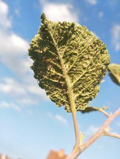 Mšice zelná(Brevicoryne brassicae) U nás na zahradě
