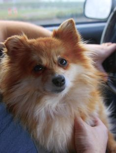 """Foxworthy Fuzz, my """"heart dog"""", is a little Pomeranian we adopted from a shelter 5 or 6 years ago.  He loves to ride in the car, 'cause """"car""""=""""food"""" to him :-)."""