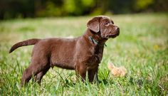 buying-a-chocolate-labrador-puppy
