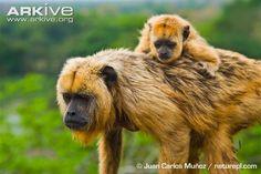 Black howler monkey photo - Alouatta caraya - G136384   ARKive