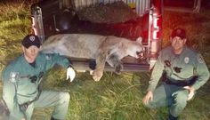 For the Love of Animals... Pass it On.   The first mountain lion seen in Kentucky in 150 years had walked over 1,000 miles to get there, wildlife researchers concluded this week. But even more noteworthy than his epic journey is just how tragically short-lived his return would be. Within hours of being spotted, the rarely seen big cat was dead. Last December when officers from the Kentucky Department of Fish and Wildlife Resources (KDFWR) were dispatched... [gotoComments]