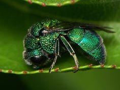 Cuckoo Wasp - Holopyga