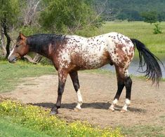 Bar Tee Snickers, bay appaloosa stallion