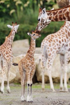 Baby and mum giraffes