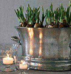 Bulbs in old Silver bucket