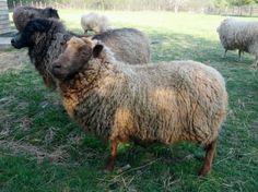 Just what ya need on a hot summer day, HOTCOCOA! Whole raw SHETLAND Fleece Farm Animals, Cute Animals, Sheep Breeds, Coat Of Many Colors, Lambs, Livestock, Cows, Summer Days, Mammals