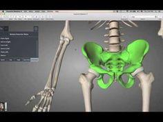 Pectoral Girdle Bones - YouTube