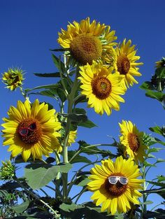sunflowers for you today sweetie muah : ) wow these are big !