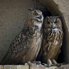 Eagle Owls are found in North Africa, Europe, Asia and the Middle East in many different habitats. It often lives in coniferous forests and deserts and including coniferous forests and deserts, and preferably landscapes with many rocks and open spaces.