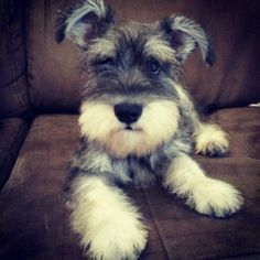 So cute!! | A community of Schnauzer lovers!