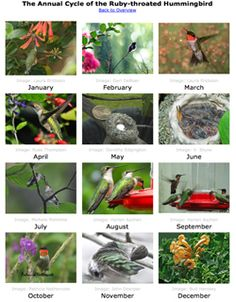 Annual Cycle: month-by-month where are hummingbirds and what are they doing? slideshow and teaching ideas