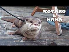 (31) カワウソコタローとハナ 父ちゃんとフレンチ料理屋に行く Otter Kotaro Goes To The French Bistro - YouTube French Bistro, Otters, Hana, Bingo, Animals, Youtube, Animais, Animales, Otter