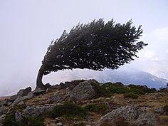 A tree up at Col de Vergio. #Corsica #Corse