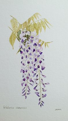 Wisteria sinensis, watercolour by Judith Jerams