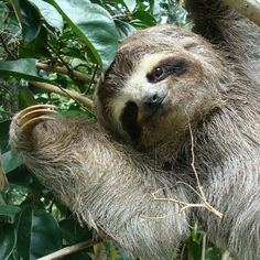 Sloth From Zootopia Funny Gif - Funny Sloth Gifs Baby Sloth, Cute Sloth, Funny Sloth, Baby Otters, Baby Animals, Funny Animals, Cute Animals, Animals And Pets, Baby Giraffes