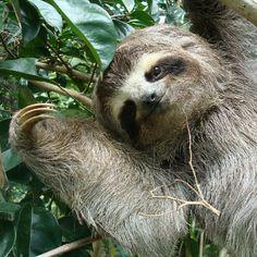 Cute Sloth in Venezuela