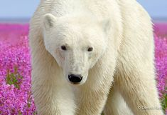 Polar Bear (Ursus maritimus) in coastal Hudson Bay landscape amid a field of fireweed. Champs, Rare Photos, Wildlife Photography, Spirit Animal, Baby Animals, Wild Animals, Fields, Beautiful Pictures, Bears
