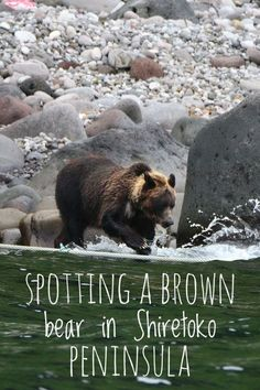 In Shiretoko peninsula, Hokkaido. #japan #asia #travel #intothewild #nature #hokkaido #bears #wildanimals