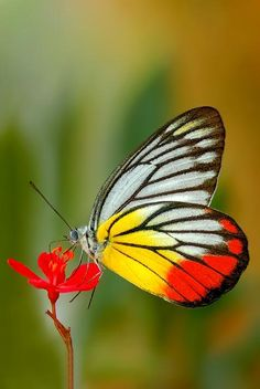 The Painted Jezebel (Delias hyparete) is a medium sized butterfly of the Family Pieridae found in Asia.