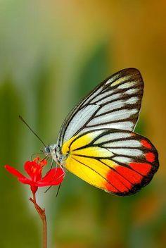Grand papillon sur une petite fleur