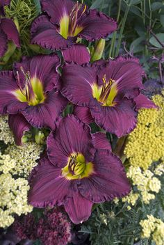 This has to be the most beautiful daylily I have EVER seen -- I'm hoping to find this one at the greenhouse this year!