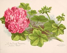 seeds_catalogs-02522  Geranium New Ivy Leaved Geranium Madame
