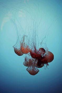 Jelly Fishportuguese de Jelly hombre guerra Fishportuguese qRx0vO