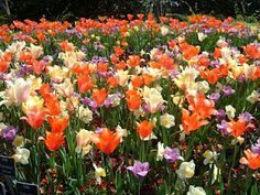 Blooming Tulips!