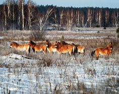 A group of Przewalski's horses that had escaped from captivity into the quarantined area were thriving. It seemed the disaster had created a sprawling wildlife park.