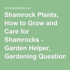 Shamrock Plants, How to Grow and Care for Shamrocks - Garden Helper, Gardening Questions and Answers