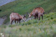 Chamois in the Tatra Mountains. Poland. #wildlifephotography