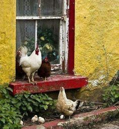 Chickens in a window