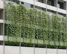 Curtains of plants to cut hot sunlight