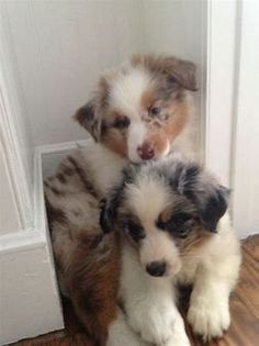 Blue Merle and Red Merle – # Australian … - Dog Breeds Super Cute Puppies, Cute Dogs And Puppies, Baby Dogs, Cute Dogs Breeds, Dog Breeds, Doggies, Australian Shepherd Puppies, Aussie Puppies, Blue Merle Australian Shepherd