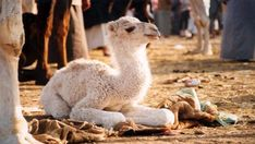 Very cute baby camel Cute Creatures, Beautiful Creatures, Animals Beautiful, Ugly Animals, Cute Animals, Very Cute Baby, Pretty Baby, Baby Camel, Baby Animals Pictures