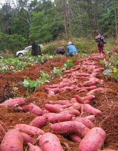 Sweet potato plantation..