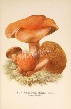 mushrooms-00303  boletus bovinus Suillus bovinus Jersey cow