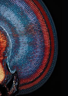 The eye of the common blue damselfly (Enallagma cyathigerum) has a uniform, crystal-like structure, imaged here using two overlapping confocal image stacks. | The Scientist Magazine®