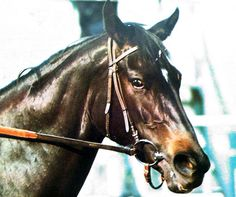 There have been many incredible racehorses, but none so dominant as Ruffian, the undefeated filly who lost only one race, the one that claimed her life. Dressage Horses, Thoroughbred Horse, All The Pretty Horses, Beautiful Horses, Sport Of Kings, Cute Horses, Racehorse, Horse World, Horse Trailers