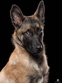 A sweet Belgian Malinois portrait. Belgian Shepherd, German Shepherd Dogs, Malinois Belga, Belgian Malinois Puppies, Belgium Malinois, Photo Animaliere, War Dogs, Airedale Terrier, Mundo Animal